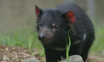 Тасманійський диявол буде врятований від вимирання