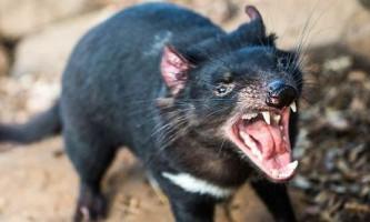 Тасманійський диявол перестав наводити жах на своїх жертв