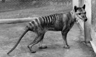Тасманійський тигр полював як кішка
