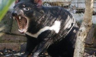 Тасманских дияволів, можливо, вдасться врятувати
