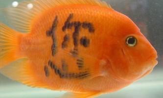 Татуірвкі на рибок, або бізнес по-китайськи