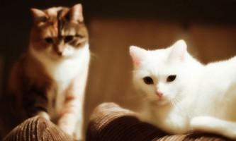 Тічка у кішок - все про цю важливу періоді в житті ваших вихованців