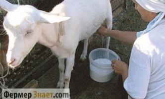 Техніка правильного доїння: поради починаючому фермеру