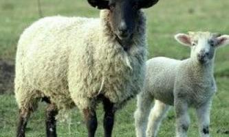 Технології утримання овець