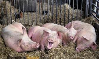 Технології утримання свиней в приватному господарстві