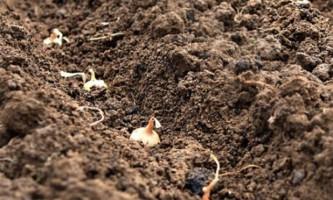 Технологія вирощування цибулі з насіння