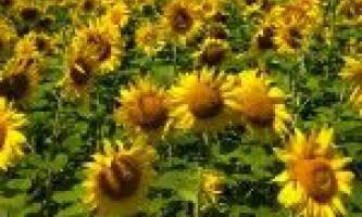 Технологія вирощування соняшнику