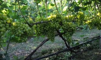 Добрива і підживлення для винограду. Коли і як удобрювати?