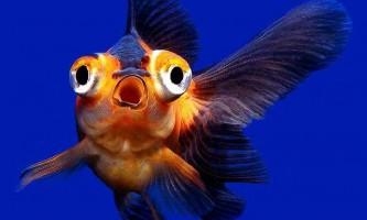 Телескопи - акваріумні рибки