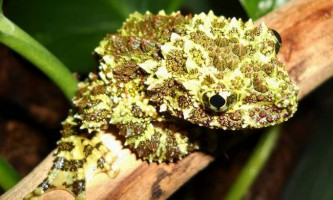 Телодерми - маленькі дупляние жаби