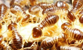 Терміти допоможуть у пошуку родовищ золота