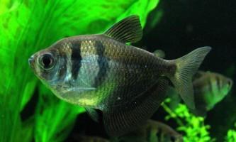 Тернеция звичайна - мирний акваріумний житель