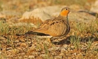 Тибетська саджа. Рідкісні птахи миру