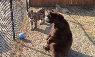 Тигр, левиця і ведмідь: дружне тріо