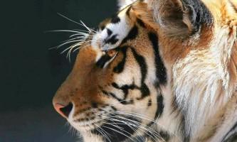Тигр - найбільша кішка