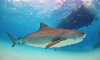 Тигрова акула напала на гавайського рибалки і відкусила йому ногу