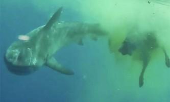 Тигрова акула з`їла зебу посеред океану