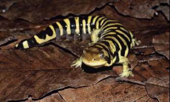 Тигрова саламандра