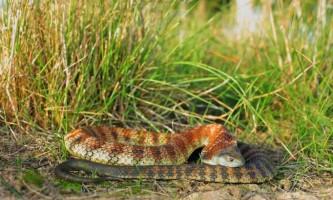 Тигрова змія - найотруйніша з сухопутних гадів