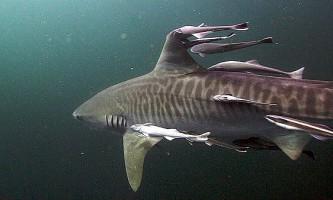 Тигрові акули шукають їжу по-розумному