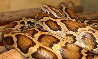 Тигровий пітон - змія «в смужку»