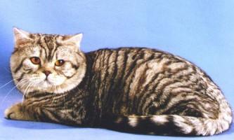 Тигровий таббі забарвлення, або макрель