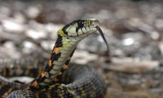 Тигровий вже - небезпечна і отруйна змія