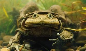 Тітікакскій свистун, або жаба-мошонка (лат. Telmatobius culeus)