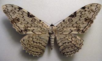 Тізанія агрипини - одна з найбільш незвичайних метеликів
