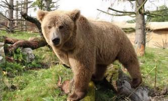 Тяньшаньский або белокоготний ведмідь
