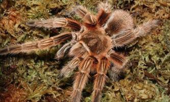 Важкі павуки-птахоїди виділяють павутину лапками ніг