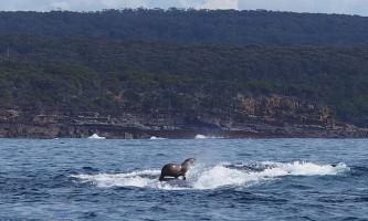 Тюлень прокотився на спині горбатого кита