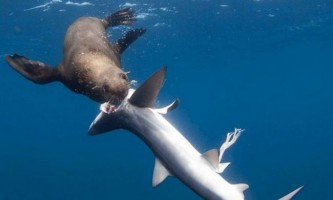 Тюлені стали полювати на акул і поїдати їх внутрішні органи