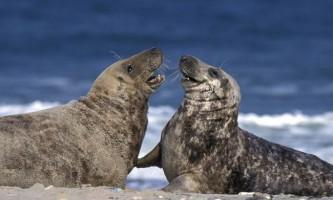Тюлені вбивають дельфінів і можуть бути небезпечними для людей