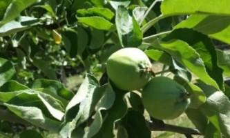 Попелиця на яблуні як боротися