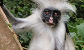 Толстотели мавпи або колобуси: особливості способу життя