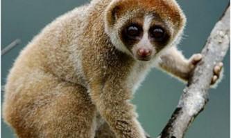 Товсті лорі - лупаті мавпочки