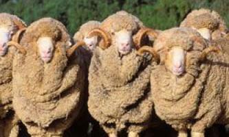 Тонкорунні вівці породи меринос: розведення і показники продуктивності