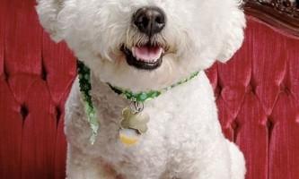 Топ 20 найдорожчих і рідкісних порід собак у світі