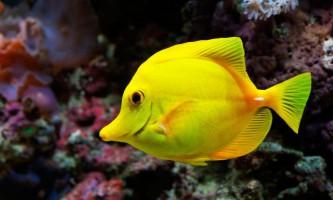 Топ жовтих акваріумних рибок