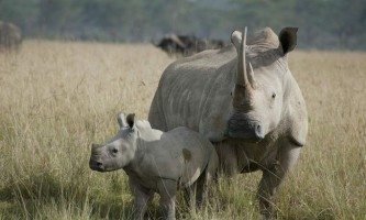 Трагічні новини в світі тварин - в штаті каліфорнії помер останній білий носоріг