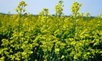 Трансгенні сільгоспкультури окупували вже один мільярд гектарів