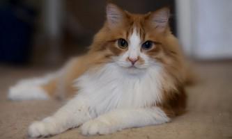 Травматін: інструкція із застосування для кішок