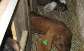 Вимоги до годівниць для кіз, їх самостійне виготовлення