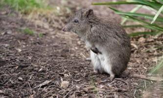 Трипалий щурячий кенгуру: чи має він схожість з гризунами?