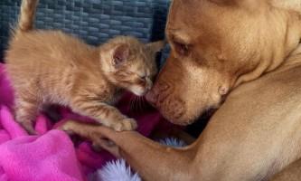 Зворушлива історія дружби кошеня і пітбуля