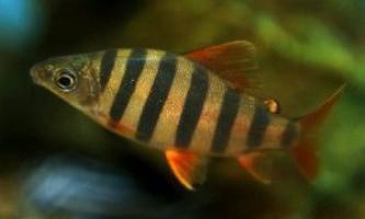 Тропічні акваріумні рибки