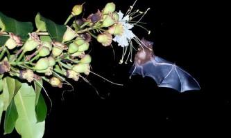 Тропічні рослини використовують ехолокацію кажанів