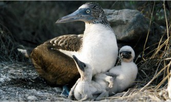 Важке дитинство не позначається на агресивності дорослих птахів