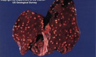 Туберкульоз курей та іншої домашньої птиці
